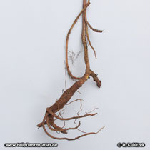 Baikal-Helmkraut (Scutellaria baicalensis), Wurzel