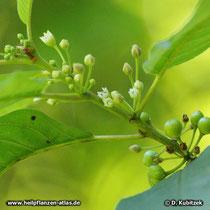 Amerikanischer Faulbaum (Rhamnus purshiana), Büten und Früchte (unreif)