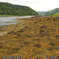 Knotentang Standort, hier an der Westküste von Schottland