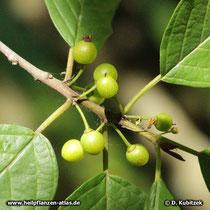 Amerikanischer Faulbaum (Rhamnus purshiana), Früchte (unreif)
