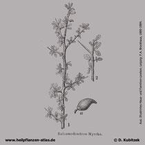 Myrrhenbaum (Commiphora molmol), historische Grafik