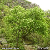 Blumen-Esche (Fraxinus ornus), Wuchsform und Standort, hier an einem Fels-Trockenhang