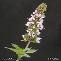 Japanische Minze (Mentha canadensis), Blütenstand