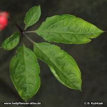 Ginseng (Panax ginseng), fünffingriges Blatt