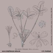 Wilde Malve (Malva sylvestris), historische Grafik
