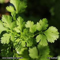 Koriander (Coriandrum sativum), junge Blätter