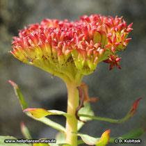 Rosenwurz (Rhodiola rosea): Fruchtstand der weiblichen Pflanze.