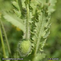 Schlafmohn (Papaver somniferum), Blütenknospe
