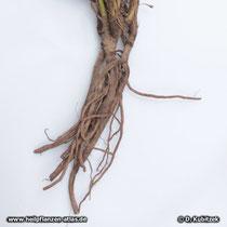 Schmalblättriger Sonnenhut (Echinacea angustifolia) Wurzel