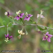 Gemeiner Bocksdorn (Lycium barbarum), blühender Zweig