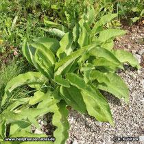 Gewöhnlicher Beinwell (Symphytum officinale), grundständige Blätter