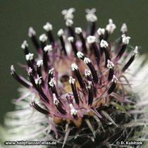Himalayascharte (Saussurea costus), zu Beginn der Blüte