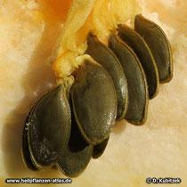 Steirischer Ölkürbis (Cucurbita pepo var. styriaca), Kerne