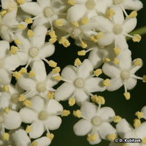 Holunder Blüten