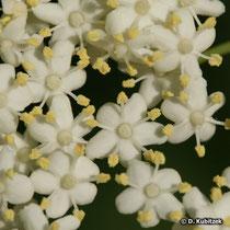 Holunder (Sambucus nigra), Blüten