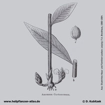 Malabar-Kardamome (Elettaria cardamomum), Historisches Bild