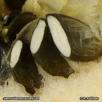 Steirischer Ölkürbis (Cucurbita pepo var. styriaca), Kerne aufgeschnitten