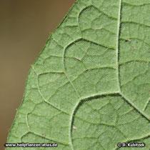 Kleine Klette (Arctium minus): Die Unterseite des Blattes ist behaart.