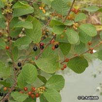 Echter Faulbaum (Frangula alnus; synonym: Rhamnus frangula), Zweige mit Früchten