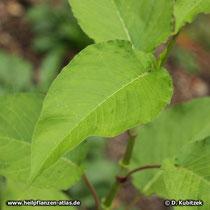Orient-Knöterich (Polygonum orientale, Persicaria orientalis) Blatt