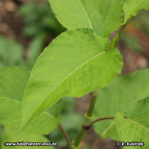 Orient-Knöterich (Polygonum orientale, Persicaria orientalis), Blatt