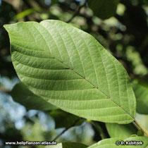 Amerikanischer Faulbaum (Rhamnus purshiana), Blatt