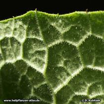 Himalayascharte, Saussurea costus,  Blatt Unterseite