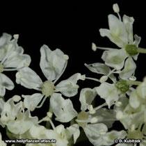 Chinesische Angelika (Angelica sinensis), Blüten