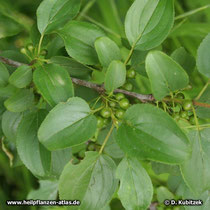 Kreuzdorn Blätter und Früchte