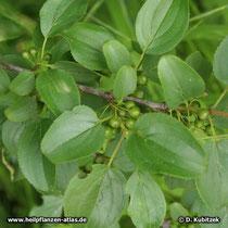 Purgier-Kreuzdorn (Rhamnus catharticus), Blätter und Früchte