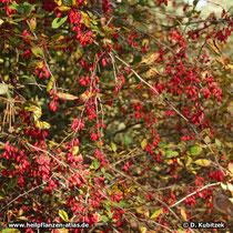 Gewöhnliche Berberitze (Berberis vulgaris), fruchtend