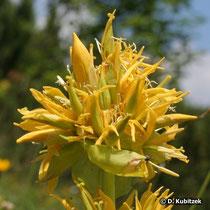 Gelber Enzian Blüten