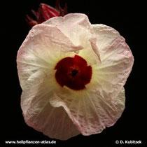Hibiscus Blüte