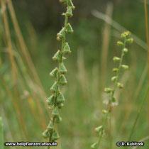Kleiner Odermennig (Agrimonia eupatoria), Fruchtstände