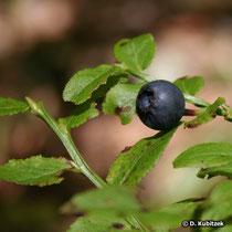 Heidelbeere (Vaccinium myrtillus), Frucht