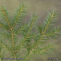 Die Zweige der Gemeinen Fichte (Picea abies) sind unbehaart.