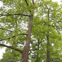 Trauben-Eiche (Quercus petraea) wächst bis 35 m hoch, der Stamm geht meistens bis zum Wipfel durch.