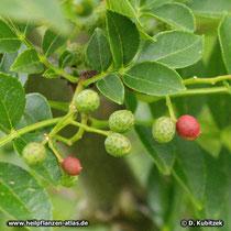 Zanthoxylum bungeanum, Früchte