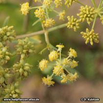 Liebstöckel (Levisticum officinale), Blüten und Früchte