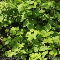 Brombeerstrauch (Rubus fruticosus)