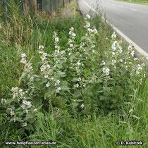 Standort: Dieser Echte Eibisch (Althaea officinalis) wächst im Straßengraben an einem Ortsrand im Norden Thüringens.