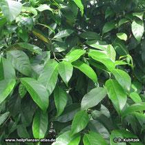 Muskatnussbaum (Myristica fragrans)