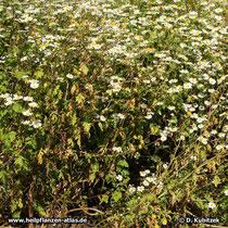 Mutterkraut (Tanacetum parthenium), Wuchsform