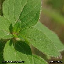 Gewöhnlicher Dost (Origanum vulgare), Blätter