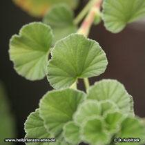 Pelargonium reniforme, Blätter