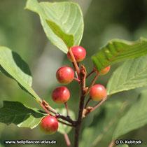 Echter Faulbaum (Frangula alnus), Früchte