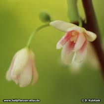 Schisandra Blüten