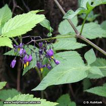 Bittersüßer Nachtschatten (Solanum dulcamara), Standort im Wald