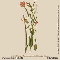 Kleinblütiges Weidenröschen, Epilobium parviflorum, Historisches Bild