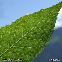 Blumen-Esche (Fraxinus ornus), Blatt Detail